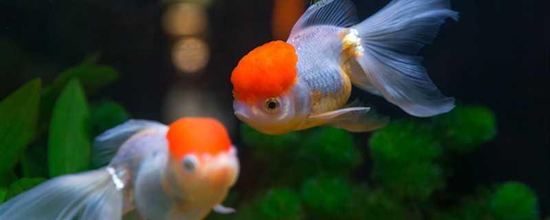 家庭金鱼的养法