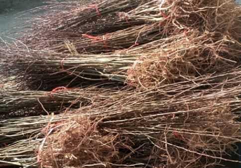 丰园红杏树苗价格是多少钱一棵