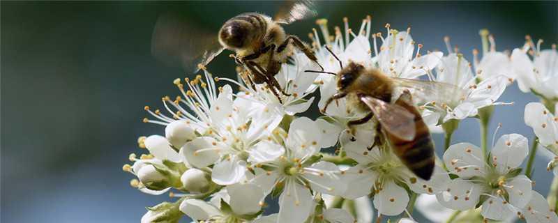 蜜蜂怎么繁殖后代