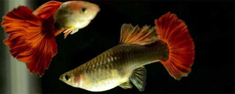 孔雀鱼怎么繁殖后代