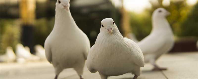 鸽子怎么繁殖