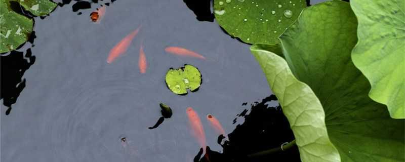 草金鱼怎么繁殖?