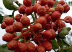 韩城大红袍树苗多少钱一棵?附种植技术要点