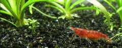 虾抱卵后怎么繁殖