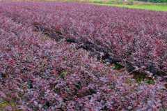 红花继木小苗价格是多少钱一棵?附种植技术要点