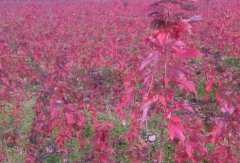 红枫树苗价格多少钱一棵?通常什么时候栽种?