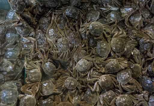 盘锦河蟹苗多少钱一斤