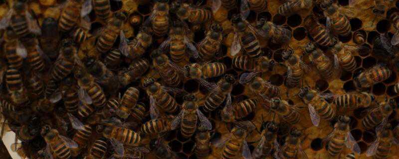野蜂怎么过冬