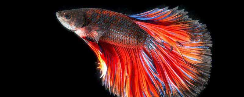 泰国斗鱼怎么繁殖