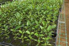 黄金百香果苗价格是多少钱一棵?如何种植?