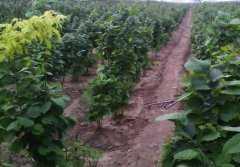 现在平欧大榛子苗价格是多少钱一棵?附栽培技术要点
