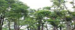 麻楝是常绿还是落叶树