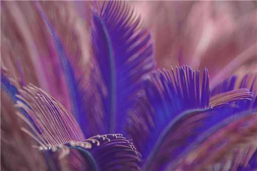 紫色的铁树