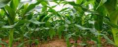 玉米用什么农药