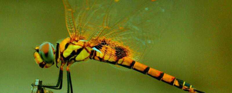 蜻蜓是怎么繁殖的