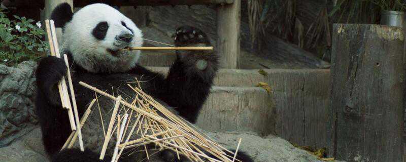 熊猫是怎么过冬的