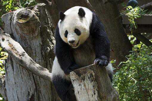 熊猫生的崽为什么那么小