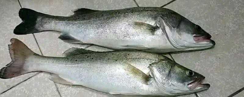 鲈鱼是淡水鱼还是海鱼