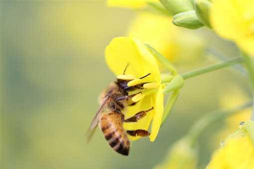 蜜蜂是怎么繁殖的