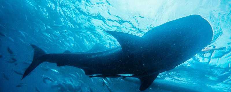鲸鱼怎么繁殖