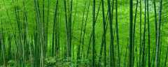 竹子怎么繁殖