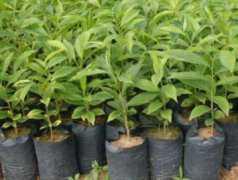 奇楠沉香有什么特点?其树苗价格大概多少钱一棵?