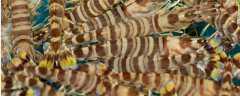 九节虾可以生吃吗?