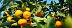 桔子树种植几年结果?