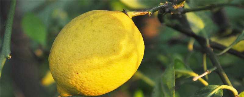 817鸡苗价格_柠檬树种植几年开花结果?