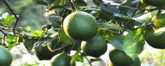 柠檬几年开花结果