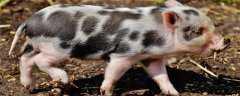 京东养猪怎么加盟?