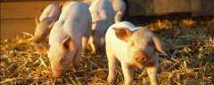 非洲猪瘟来源