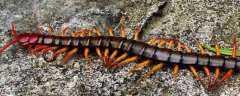 蜈蚣喜欢吃什么食物