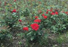 月季花小苗价格是多少钱一棵?盆栽怎么养殖才长得快?