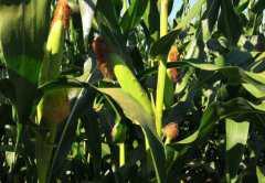 2019玉米价格多少钱一斤?附高产栽培技术