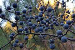 野生蓝莓价格多少钱一斤?未来5年蓝莓发展前景如何?