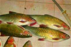 2019年青鱼的价格行情如何?养殖技术有哪些?