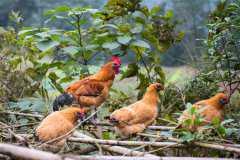 2019年七彩山鸡多少钱一斤?养殖前景怎么样?