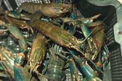 澳洲淡水龙虾苗价格是多少?如何养殖比较好?