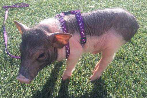 宠物猪怎么养