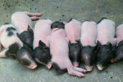 宠物猪多少钱一只