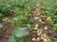 现在马铃薯价格大概多少钱一斤?附综合加工技术