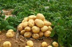 土豆播种时间和技术要点介绍