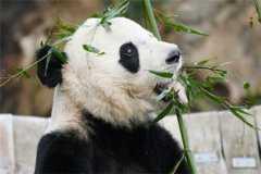 旅美大熊猫回国是怎么回事?将回到哪里?