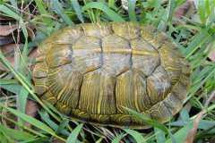巴西龟冬天怎么养?怎么分公母?