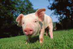 现在养100头猪能赚多少钱?成本高吗?利润空间如何?