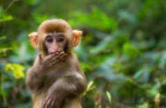 猴子的尾巴有什么作用?其品种有哪些?
