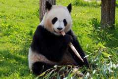 熊猫能活多少年?生活习性是怎样的?