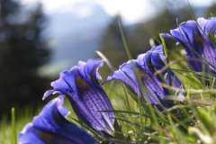 龙胆草多少钱一斤?2020年种植前景如何?