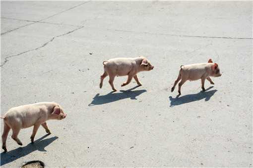 香猪养殖场地建设方法是什么